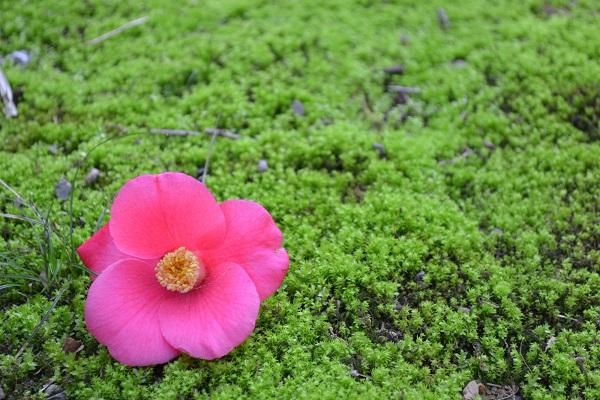 Camellia: Oshima Camellia Festival