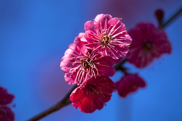 Plum Blossoms:
