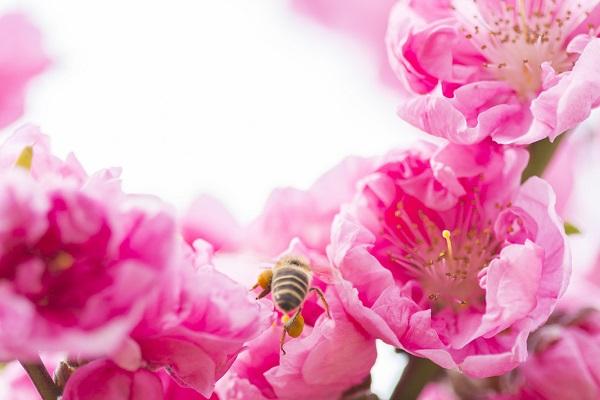 Peach Blossoms: Fuefuki Peach Blossom Festival