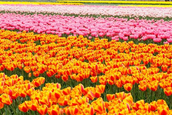 Tulips: Gosen Tulip Festival