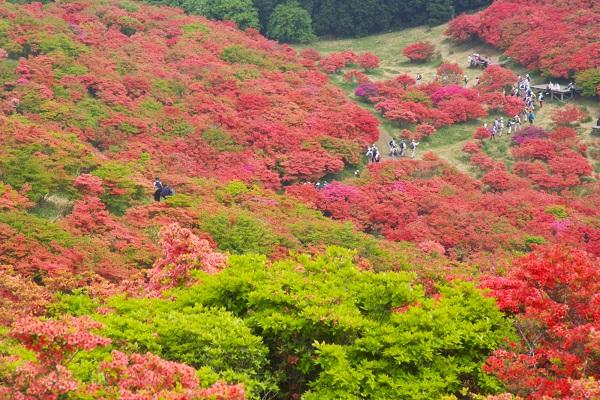 Azalea: Festival Azalea Gunung Katsuragi