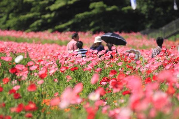 เทศกาลดอกป๊อปปี้ คุริฮามะ โยโกสุกะ