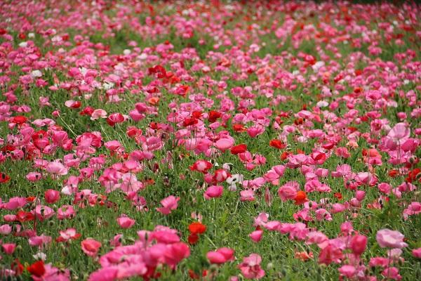 Poppy: Kurihama Yokosuka Poppy Festival