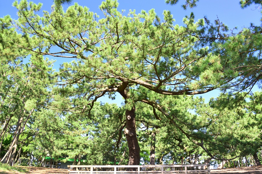 Miho Pine Grove - The Legend of the Hagoromo