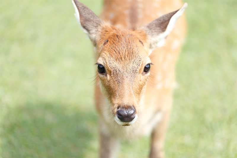 飛火野の子鹿