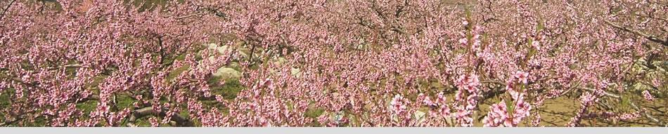 山梨県笛吹市 桃の花