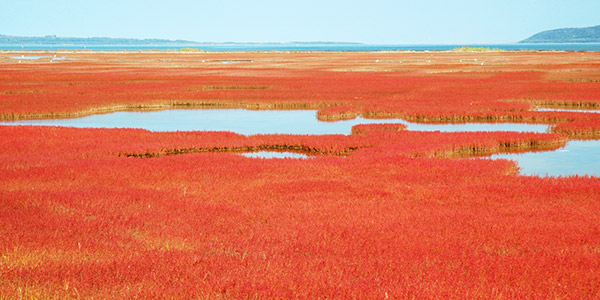 【さんご草】9月が見頃のさんご草。日本でも数少ないさんご草の群生地が能取湖畔に。
