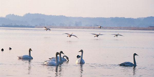 伊豆沼の朝の鳥の群れが舞う風景