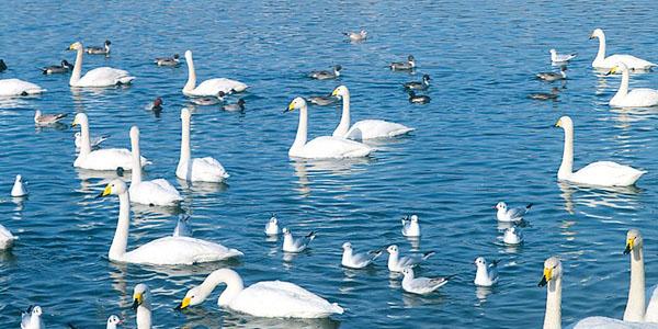 白石川の白鳥