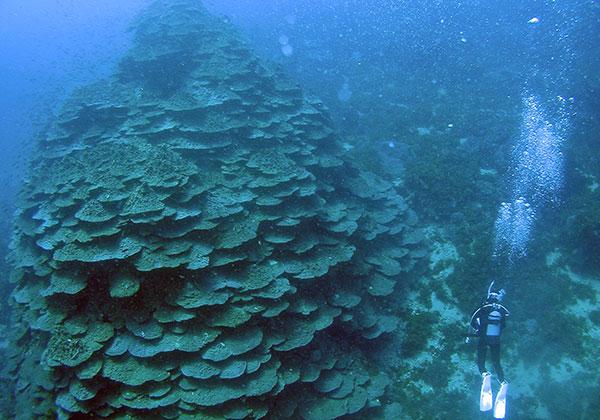 千年サンゴ