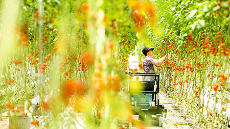 トマト収穫体験(ワンダーファーム)