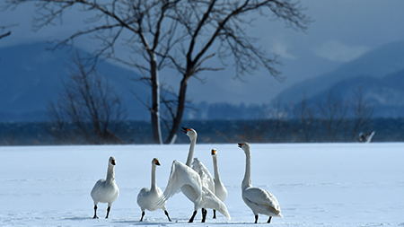 猪苗代の白鳥