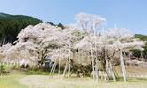 淡墨桜(本巣市)