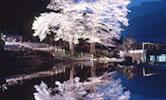 苗代桜(下呂市)