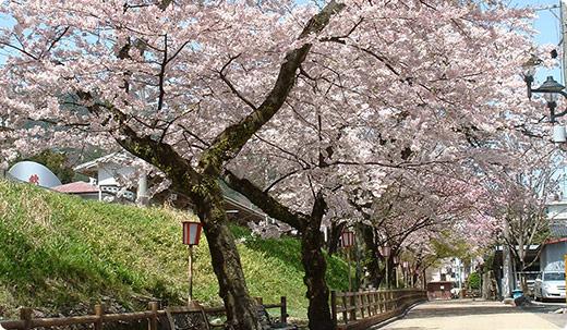下呂駅周辺の桜