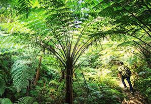 ジュラ紀の森を髣髴「ヘゴの森」