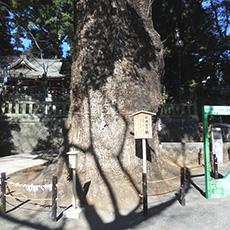 五所神社 楠木