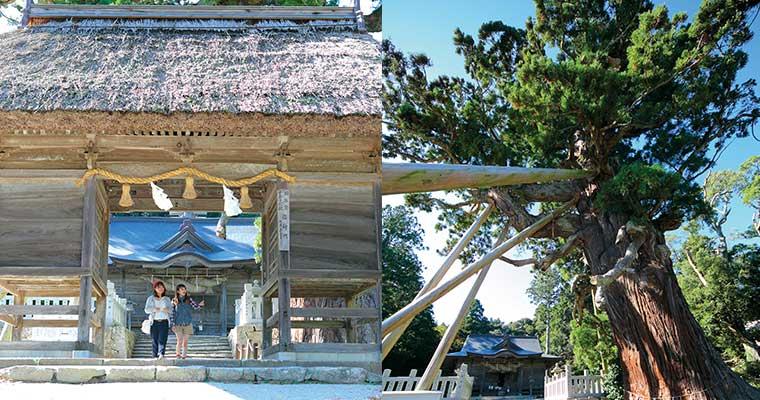 玉若酢命神社・八百杉(隠岐の島町)