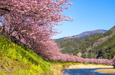 河津桜を愛でる…