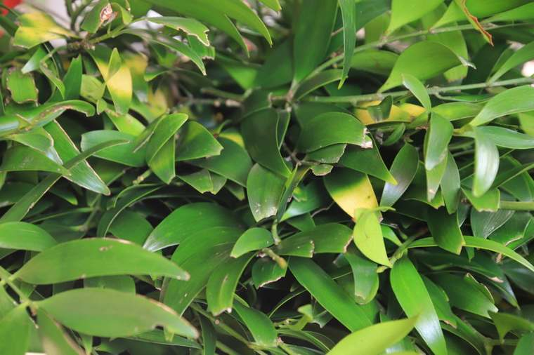 熊野速玉大社のご神木の梛(なぎ)の葉