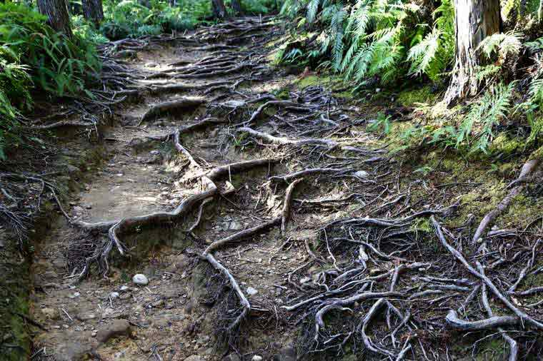 熊野古道の脇道をはう木の根っこ