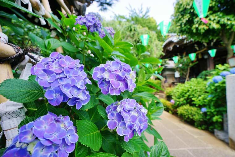 近く の 紫陽花 名所