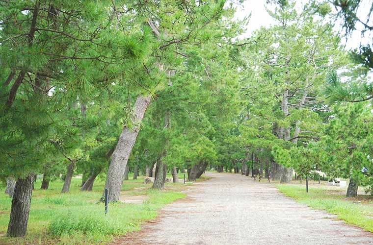 約3.6kmに及ぶ天橋立には松の木が立ち並ぶ