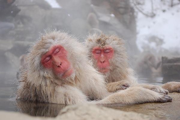 地獄谷野猿公苑-温泉に浸かるニホンザル