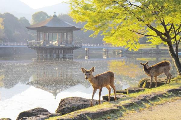 奈良公園-天然記念物の鹿