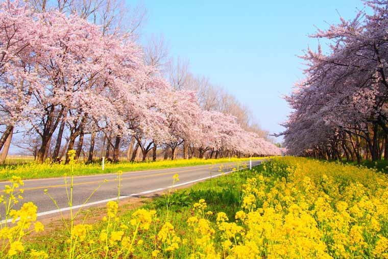 八郎潟干拓地・菜の花ロード