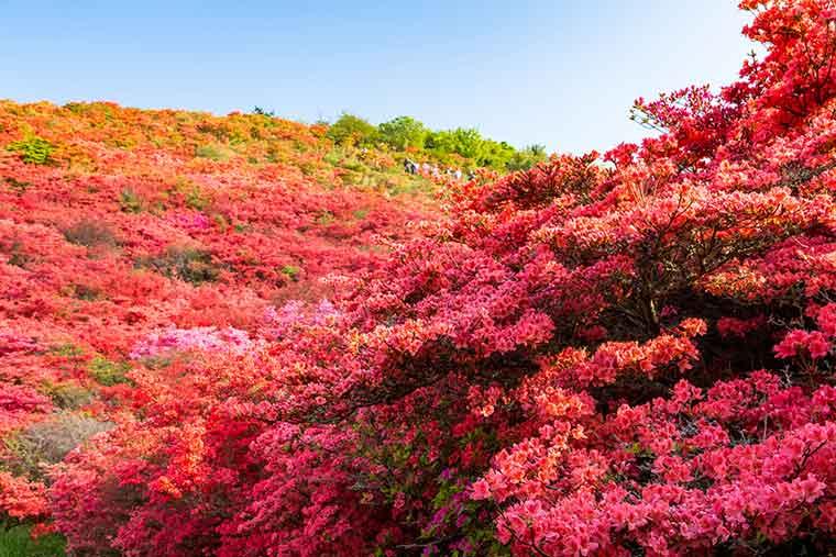 葛城山自然つつじ園