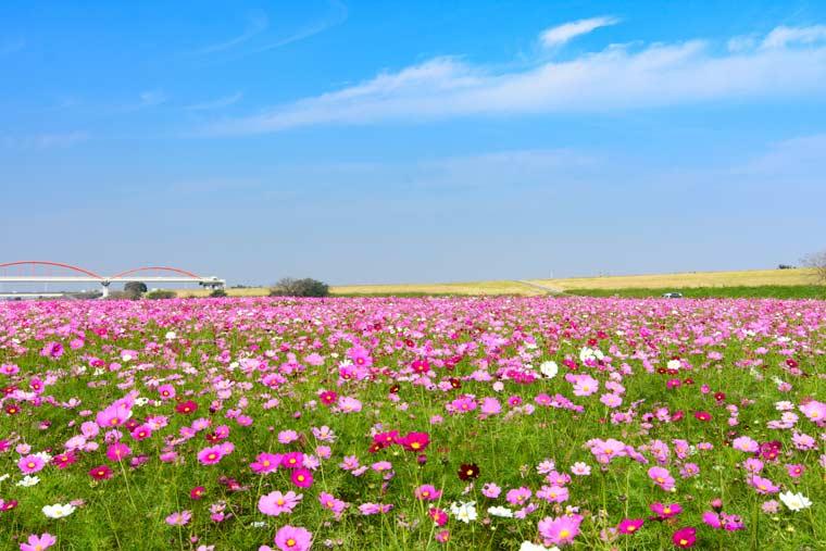 秋はコスモス畑が見頃!9~10月に行きたいお花畑35選