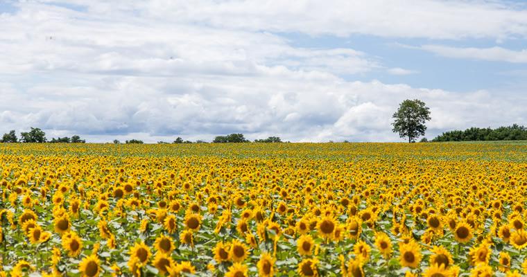 【2019】全国ひまわり畑の名所!一面が黄色に染まる夏の絶景関連する記事・特集関連するキーワードマイトリップstaff