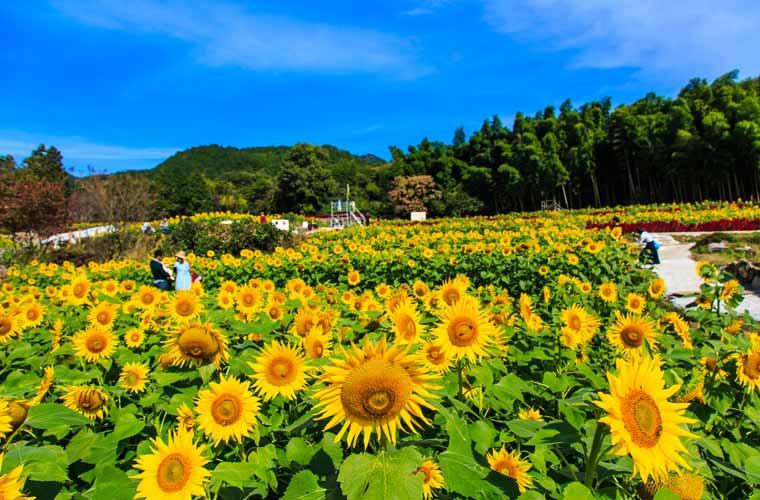 山田のひまわり園