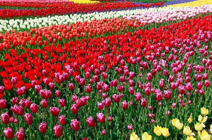 【全国】絶景のチューリップ畑を満喫!花観賞の名所 - うー ...