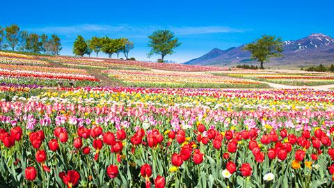 絶景のチューリップ畑を満喫!花観賞の名所37選