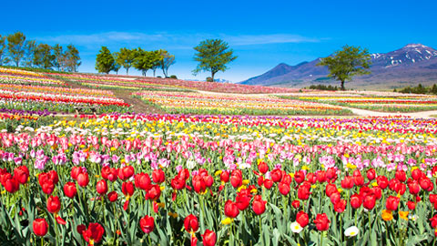 【全国】絶景のチューリップ畑を満喫!花観賞の名所37選