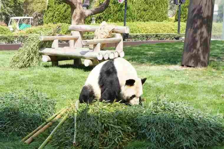 アドベンチャーワールドの大人のパンダ