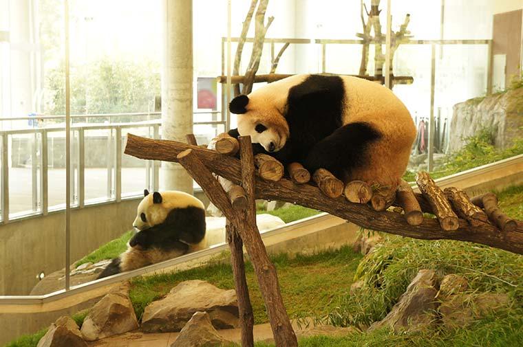 パンダラブにいるパンダ
