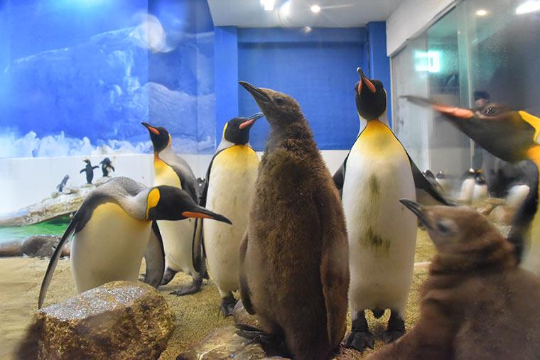 キングペンギンの赤ちゃん