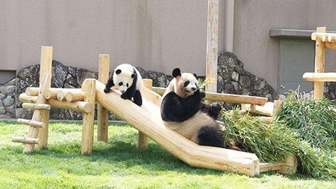 アドベンチャーワールドのパンダ一家に会いに行こう!