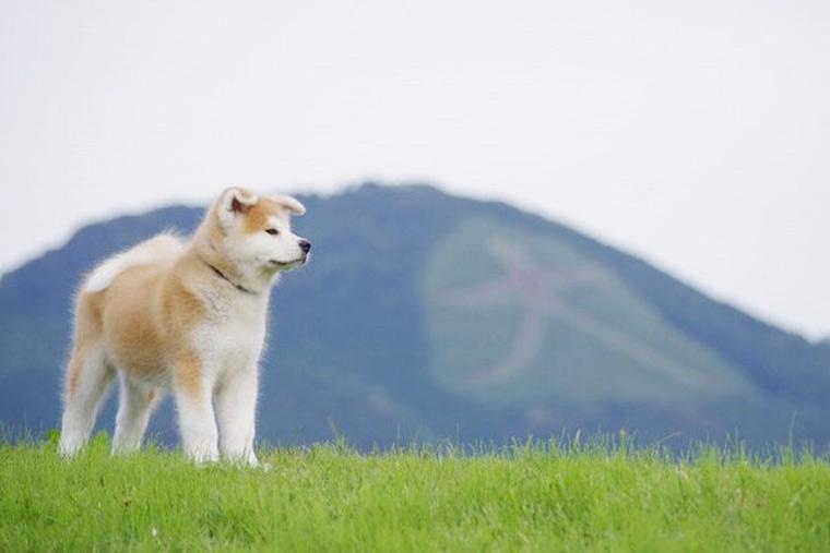 国の天然記念物に指定されている秋田犬