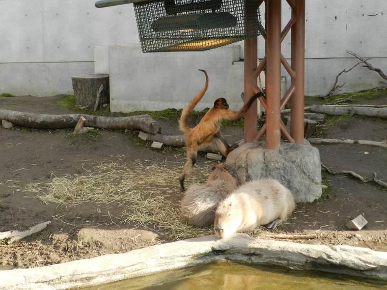 北海道 旭山動物園 共生展示 クモザルとカピバラ