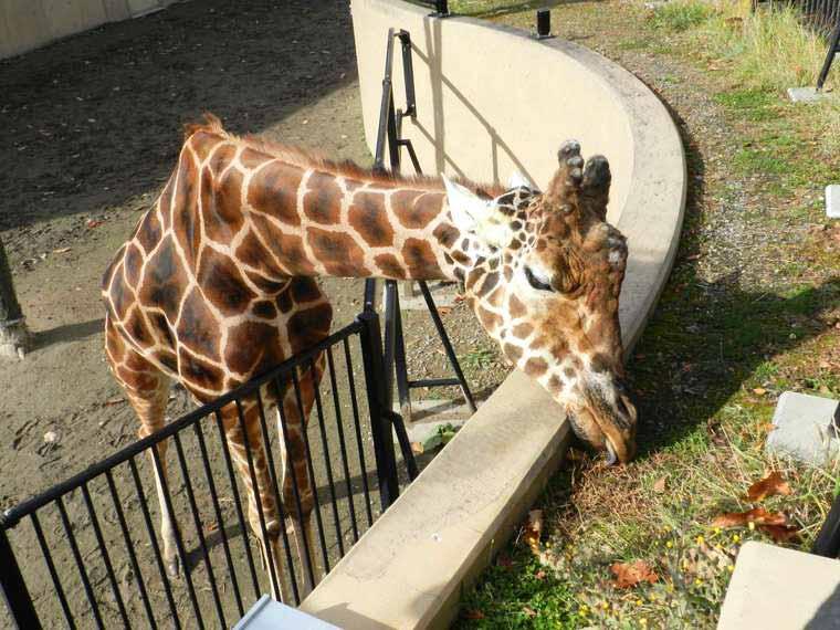 北海道 旭山動物園「きりん舎」