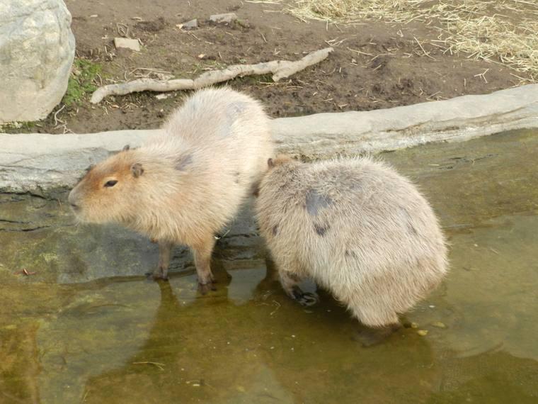 北海道 旭山動物園 「くもざる・かぴばら館」
