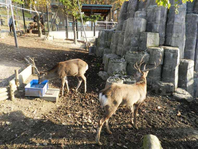 北海道 旭山動物園 穴場見学スポット エゾシカ