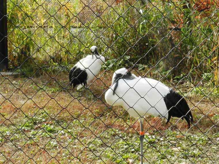 北海道 旭山動物園 穴場見学スポット タンチョウ舎