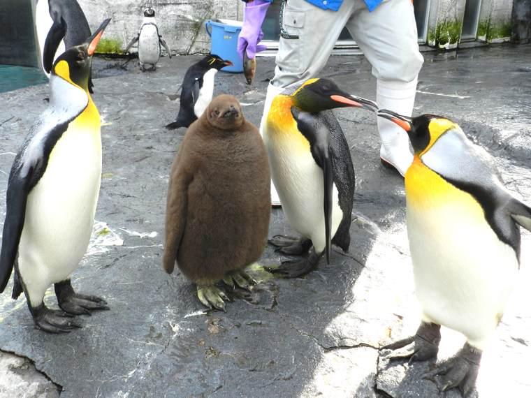 北海道 旭山動物園 ペンギンのもぐもぐタイム