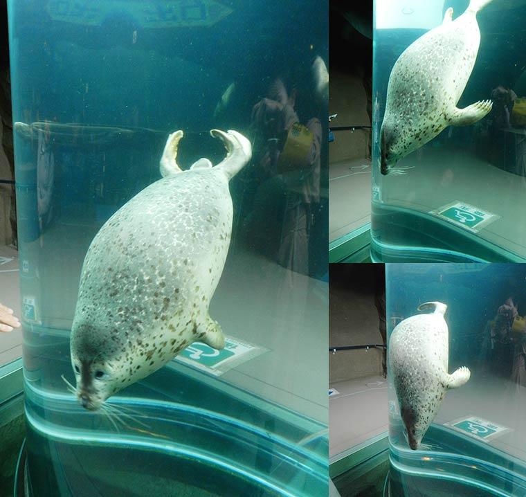 北海道 旭山動物園 行動展示 アザラシ