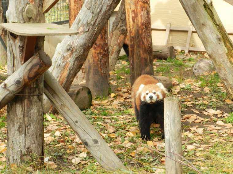 北海道 旭山動物園 行動展示 レッサーパンダ